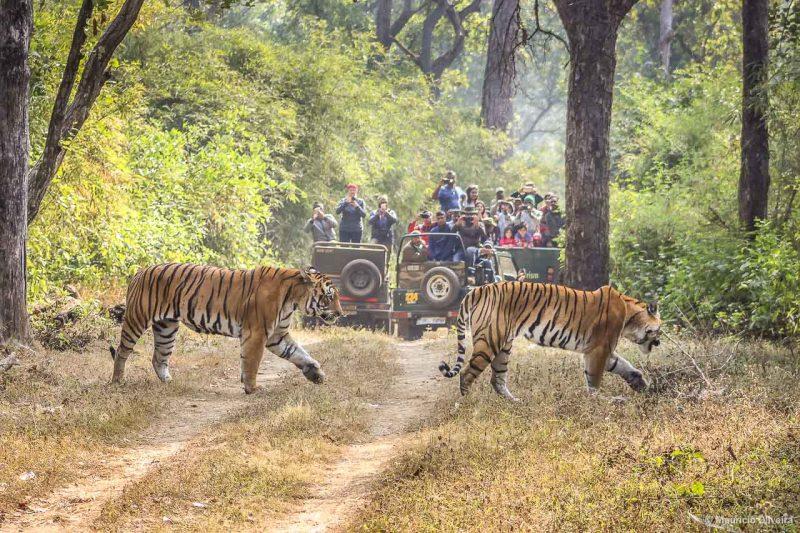 Kanha National Park - Onde ver os tigres-de-bengala na Índia