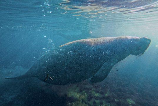 Foi um sonho realizado poder nadar com peixes-boi na Flórida